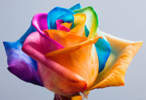 How To Make Rainbow Roses : DIY Science Experiments For Kids